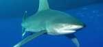 Акула аквариумная рыбка