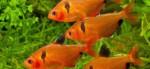 Аквариумные рыбки минор