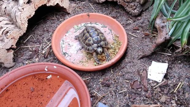 Чем кормить греческую черепаху