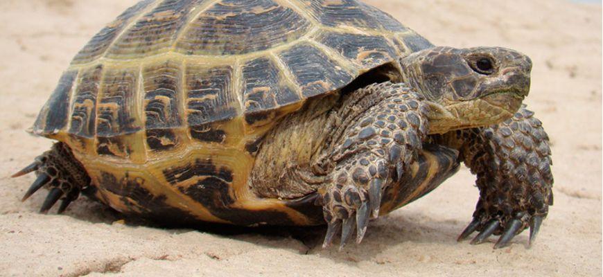 Чем кормить средиземноморскую черепаху в домашних условиях