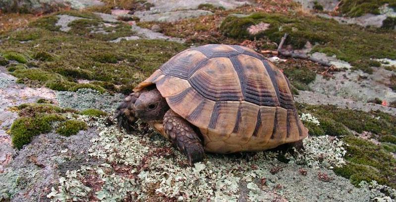 Еще немного о средиземноморской черепахе