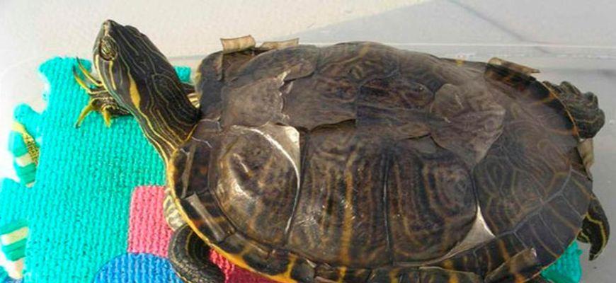Как долго длится линька у красноухих черепах