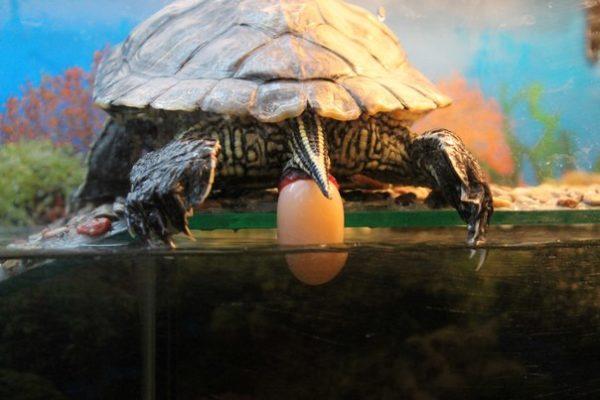 Как красноухие черепахи откладывают яйца