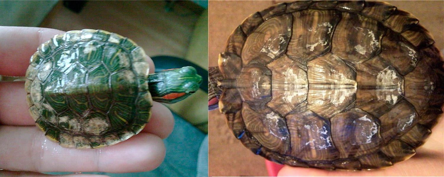 Как ухаживать за черепахой в этот период