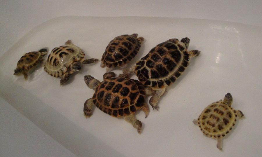 Каким образом купать черепаху, чтобы она не испытывала недостатка во влаге?