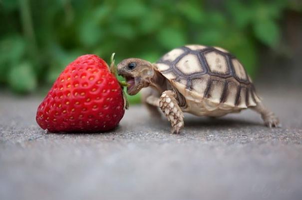 Каким образом пьют сухопутные черепахи?
