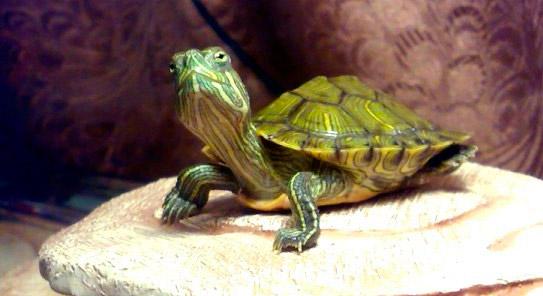 Лечение болезней глаз красноухой черепахи