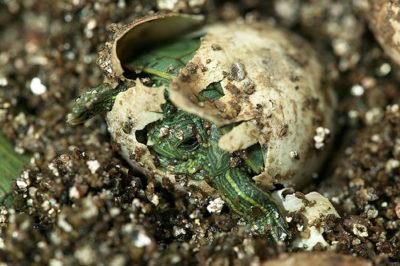 Наблюдение за рождением черепашат