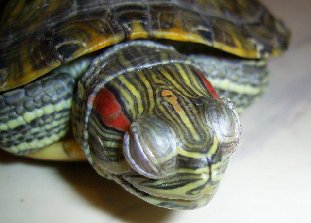 Недуги глаз красноухих черепах и их признаки