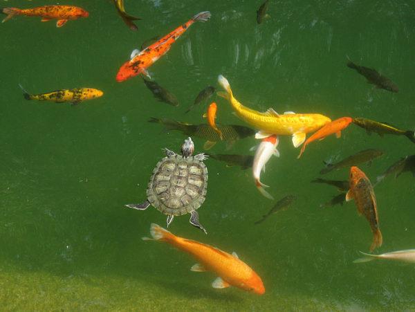 Почему черепах и рыбок не стоит селить в одну емкость