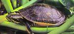 У красноухой черепахи опухла лапа что делать