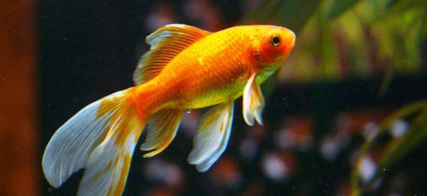 как отличить самку от самца рыбок в аквариуме