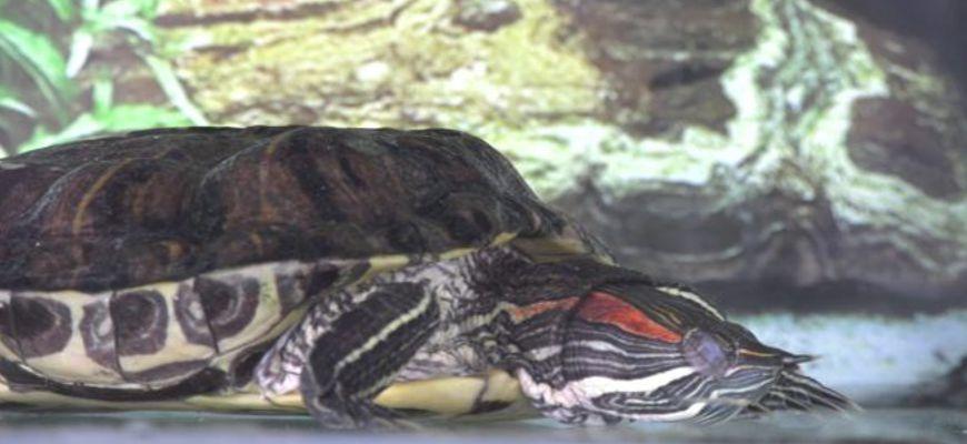 красноухие черепахи уход и содержание в зимний период