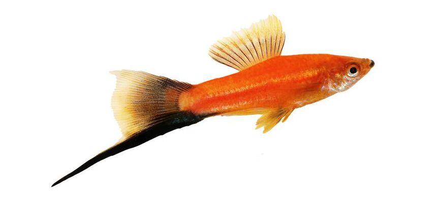 Меченосец лежит на дне аквариума и часто дышит