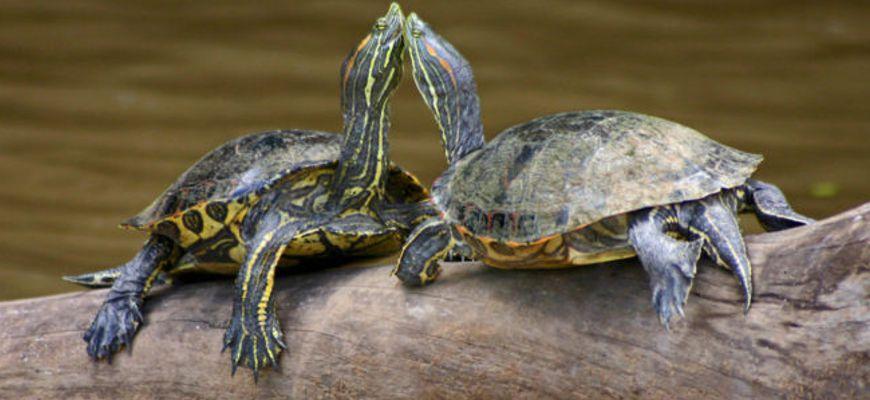 Может ли красноухая черепаха отложить яйца в аквариуме