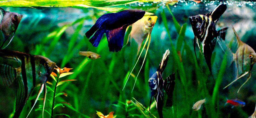 Можно ли петушков и скалярий держать в одном аквариуме