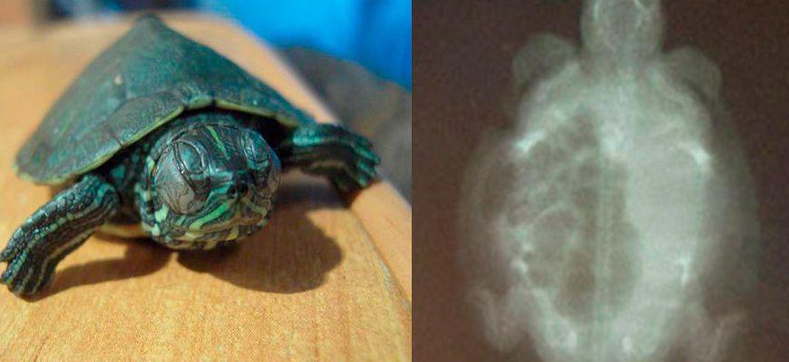Тимпания у красноухой черепахи симптомы и лечение