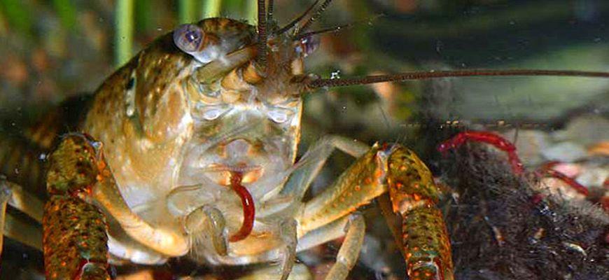 Чем кормить раков в домашних условиях в аквариуме.
