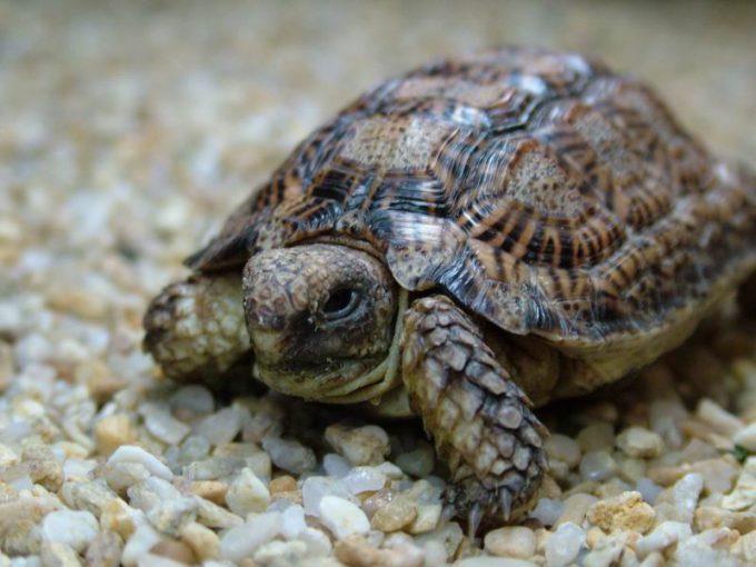 Плоские или плоскотелые черепахи