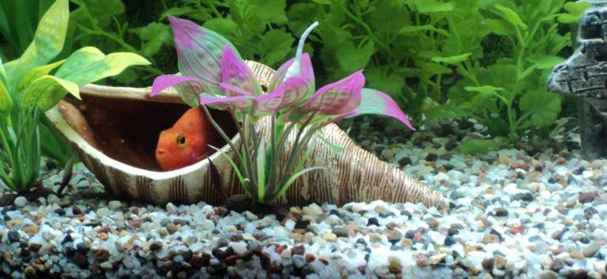 Почему рыбка в аквариуме прячется за ракушку