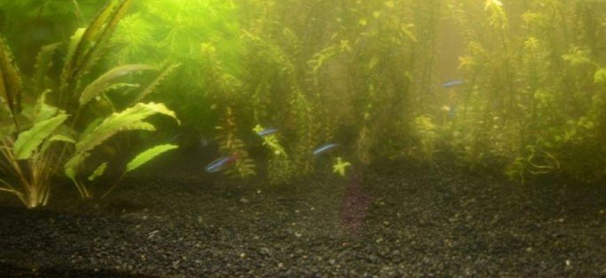 После запуска рыбок в аквариум вода помутнела