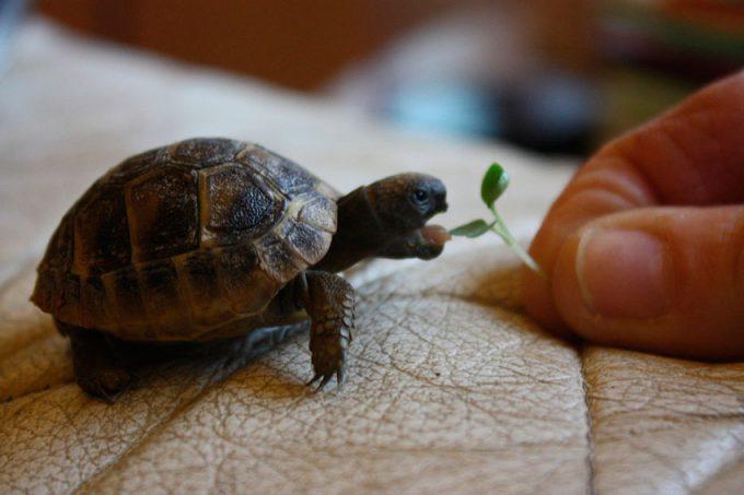 Преимущества содержания маленьких черепашек