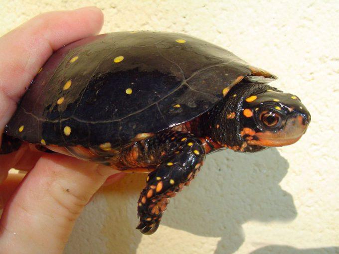 Пятнистые черепахи