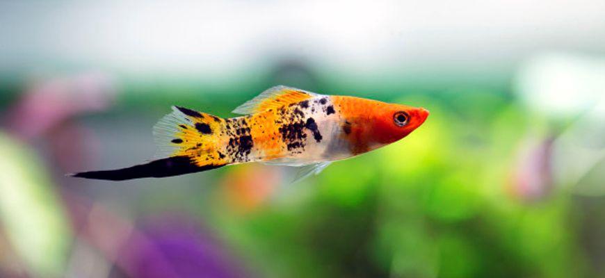 Рыбки меченосцы с кем уживаются в аквариуме