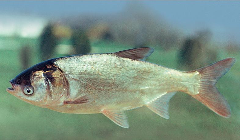 Серебристая рыба