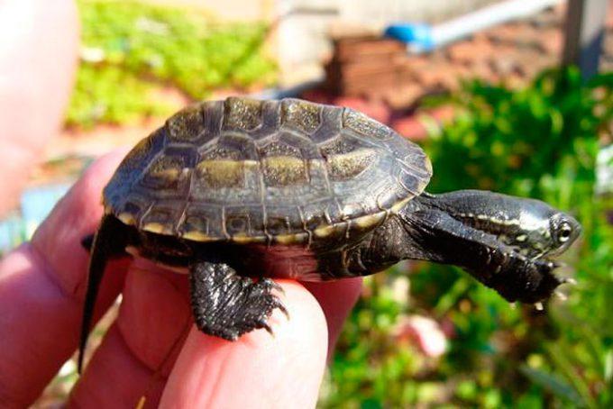 Трехкилевые китайские черепахи