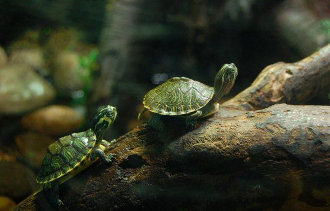 Виды маленьких черепашек для домашнего содержания