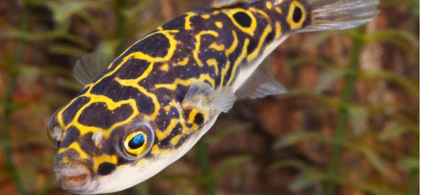 Аквариумная рыбка тетрадон пятнистый содержание и уход