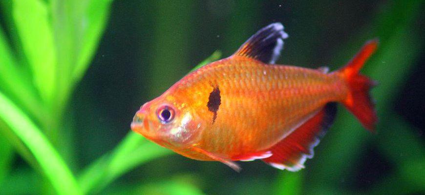 Аквариумные рыбки миноры различие самки и самца