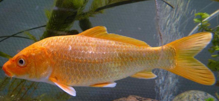 Чем кормить карасей в домашних условиях в аквариуме
