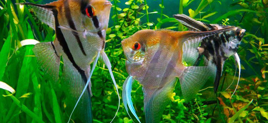 Чем кормить скалярий в аквариуме в домашних условиях