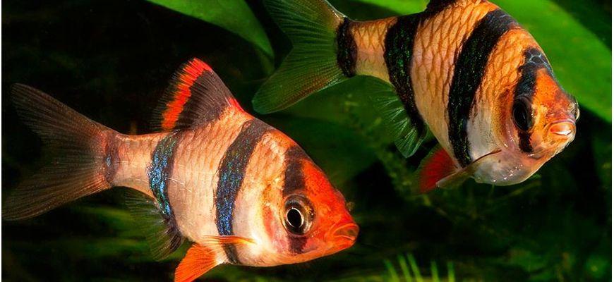 как отличить самца от самки рыбки барбусы