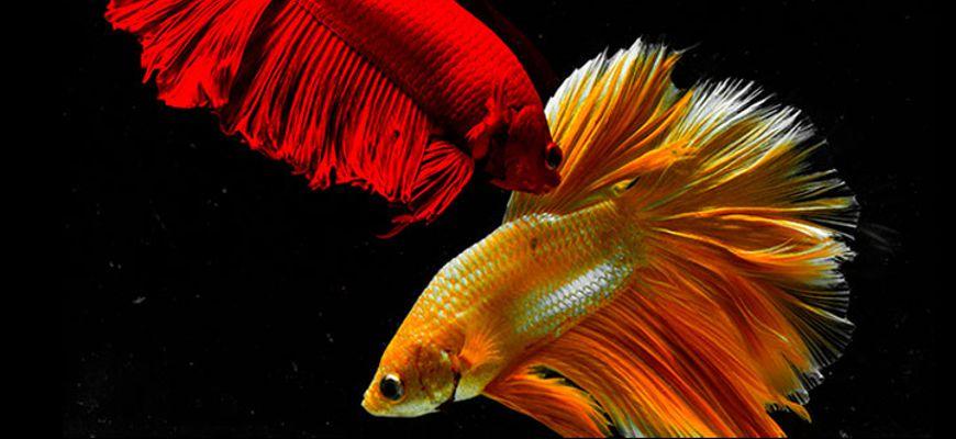 Может ли рыбка петушок выпрыгнуть из аквариума