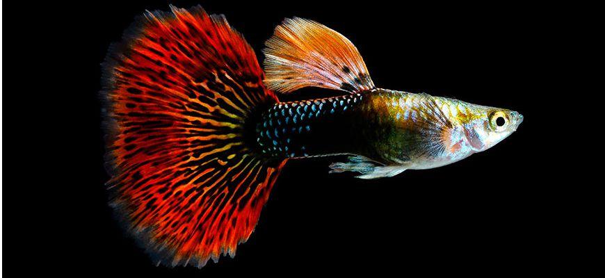Можно ли держать в одном аквариуме петушка и гуппи