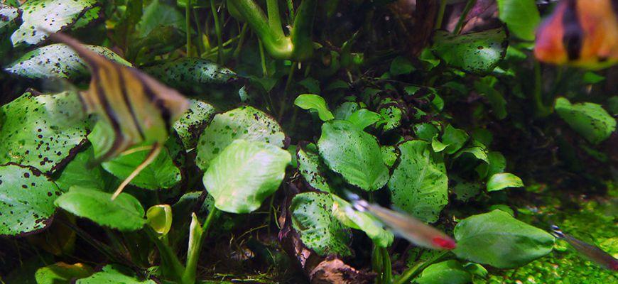 Почему гниют водоросли в аквариуме и что делать