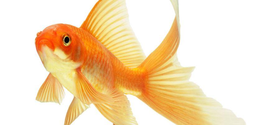 При какой температуре живут золотые рыбки в аквариуме