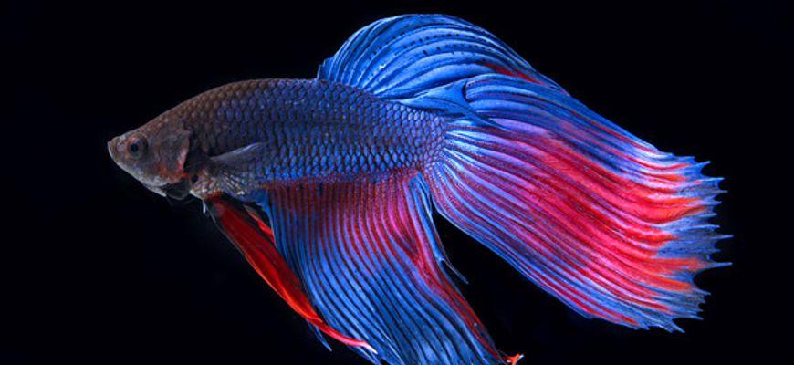 Рыбка петушок когда самка готова к нересту