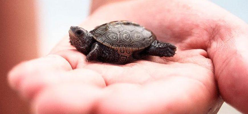 самые маленькие черепашки для аквариума которые не растут