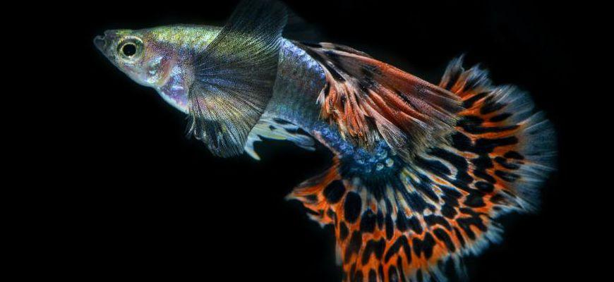 Температура в аквариуме для рыбок для гуппи