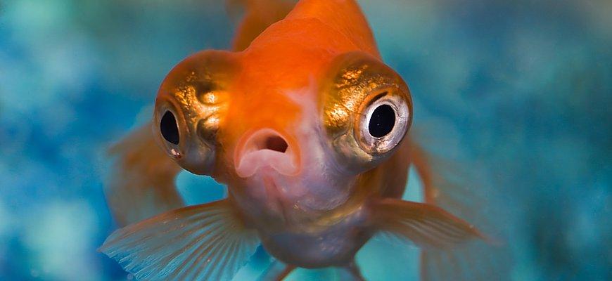 Телескоп рыбка с кем уживается   400x870