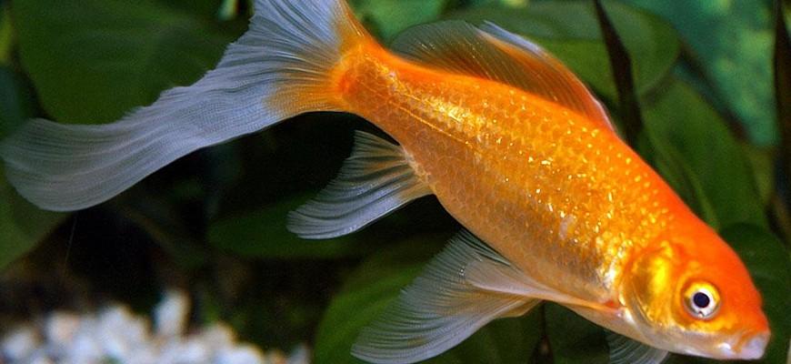 Комета рыбка аквариумная