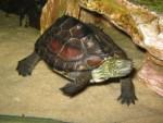 Китайская трехкилевая черепаха