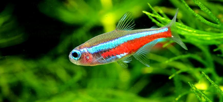 Рыбка неон